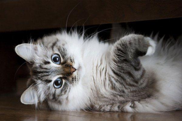Юбилейная выставка сибирских кошек «Сибирское чудо 2014»